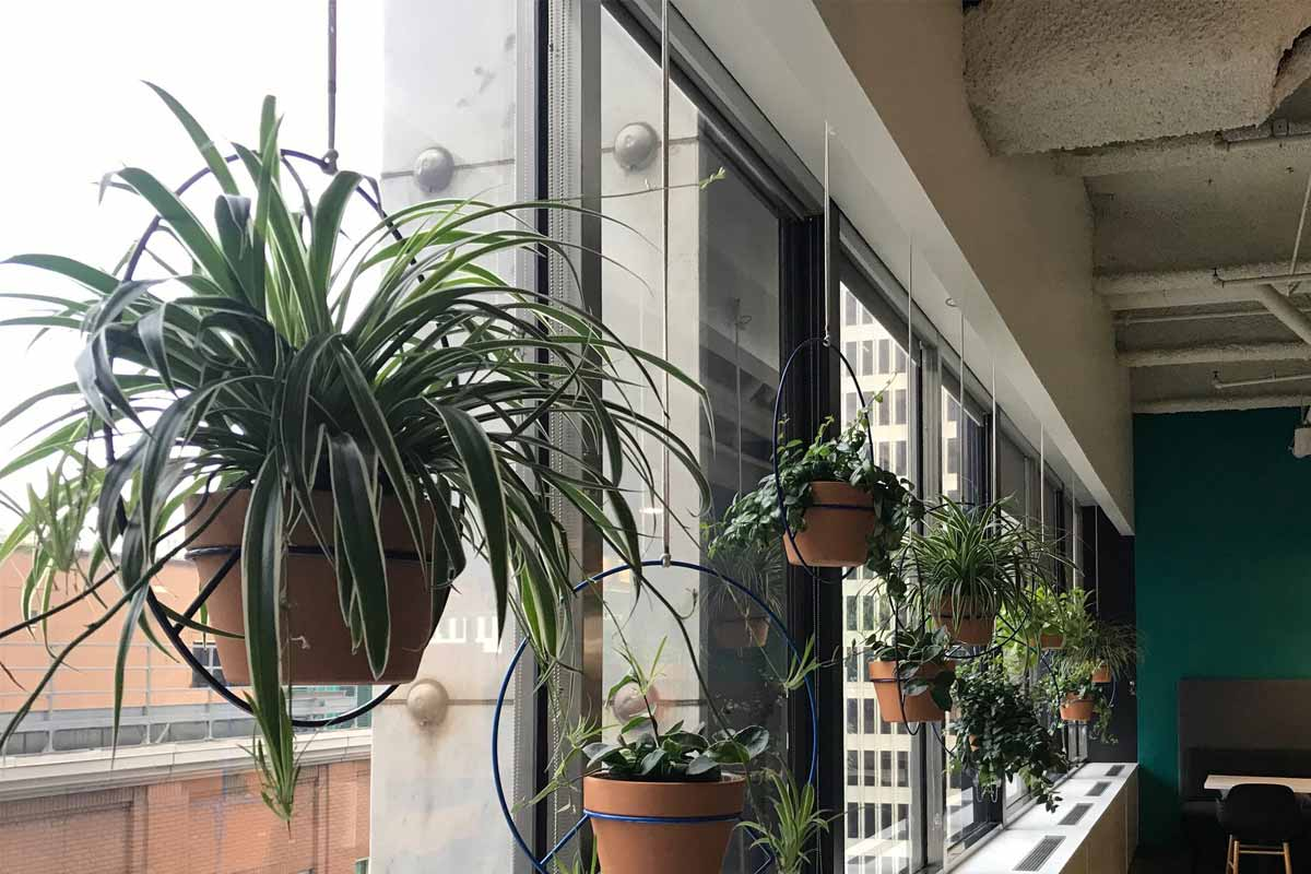 Desain tanaman gantung menghiasi jendela, karya Ambius // totallandscapecare.com