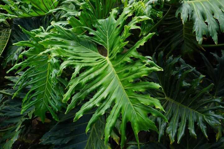 Tanaman filodendron via pxhere.com