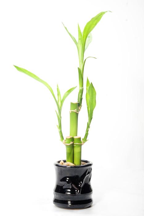Tanaman bambu hoki, via commons.wikimedia.org