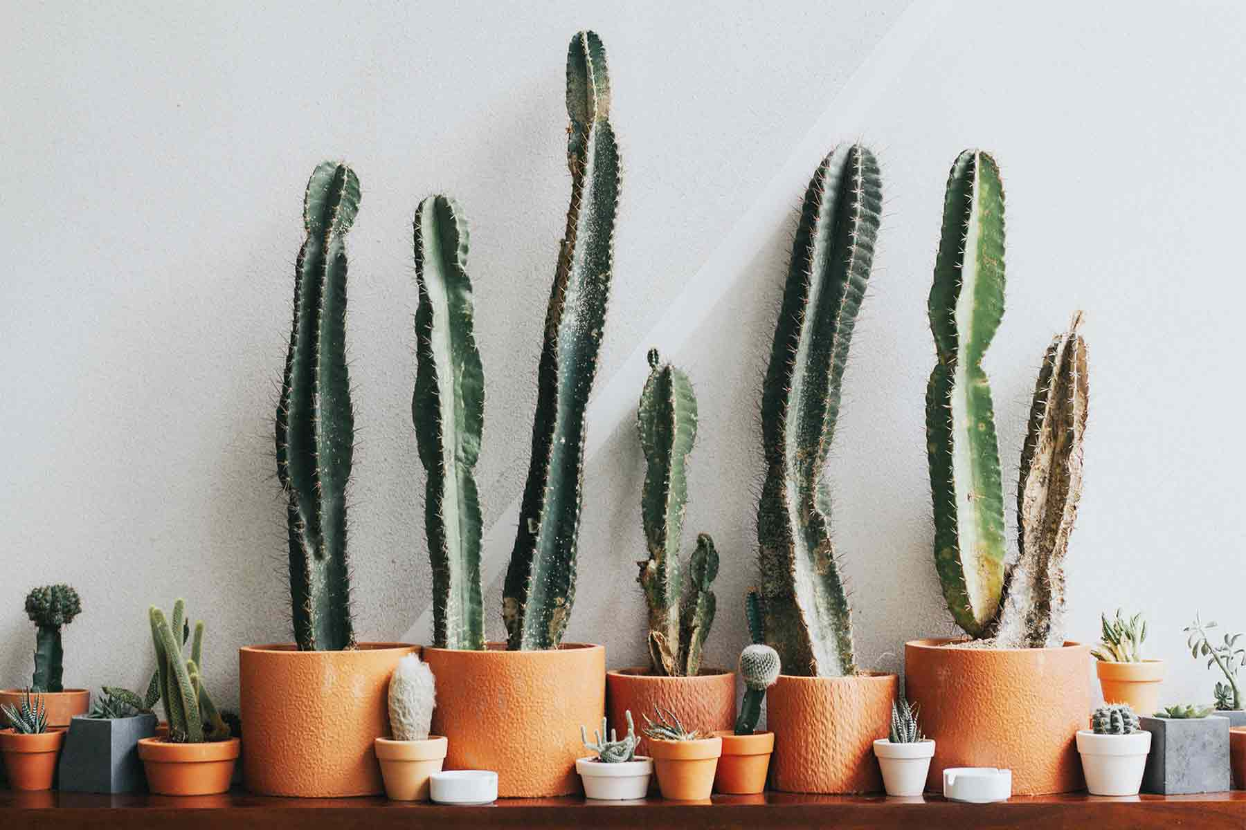 Deretan kaktus selalu menarik perhatian, foto oleh Nguyen Dang Hoang Nhu, via unsplash.com